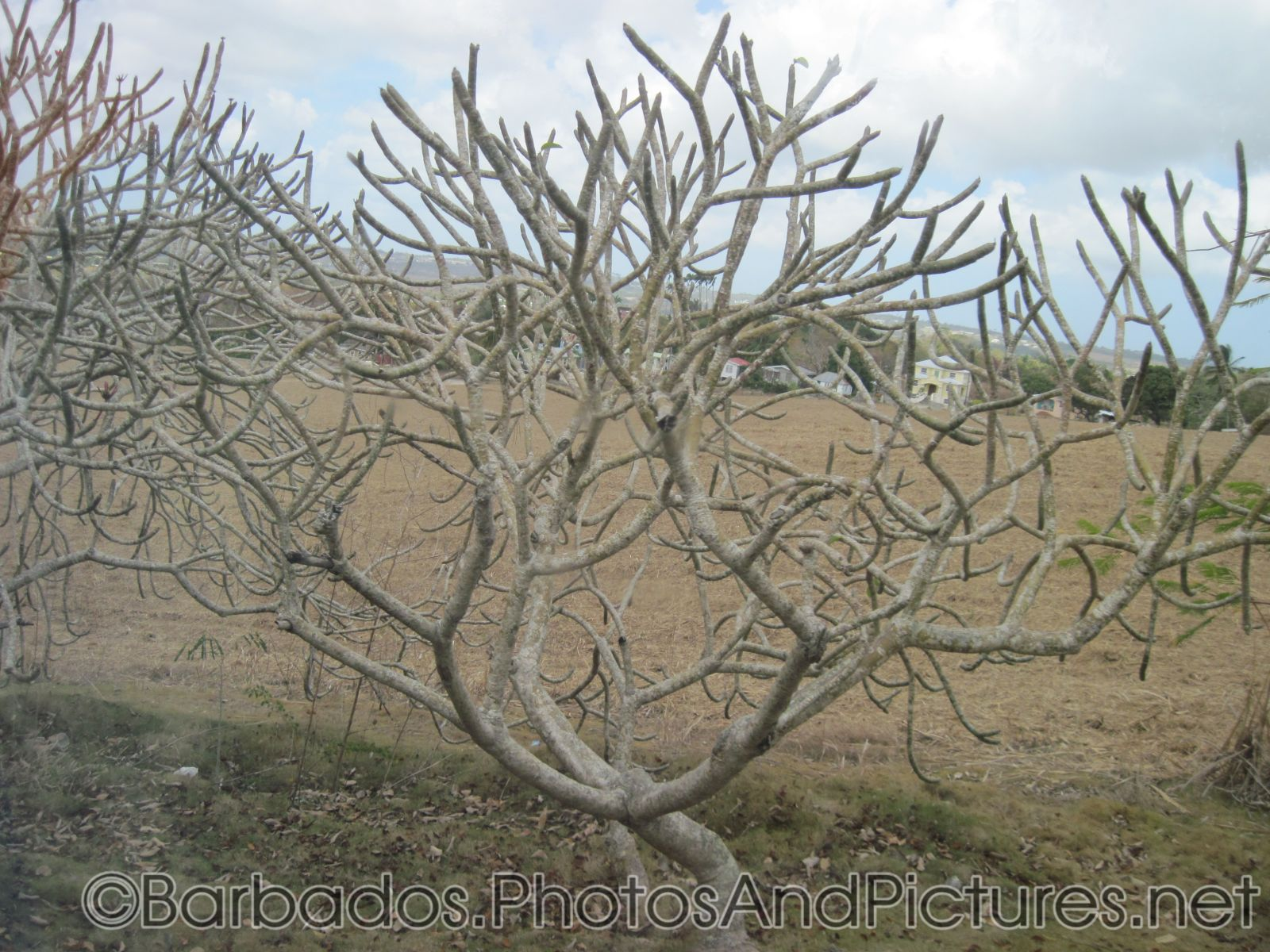 Tree without leaves in Barbados.jpg