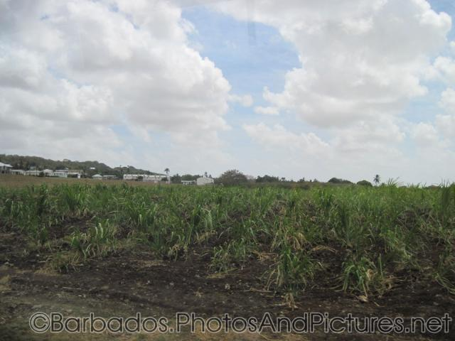 Farm field in Barbados.jpg