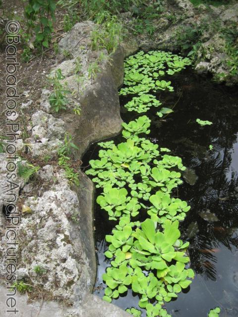 Floating plants at koi pond at orchid world for Koi fish pond plants