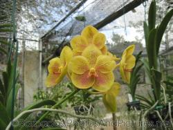 Close up of a yellow orchid with red dots at Orchid World Barbados.jpg