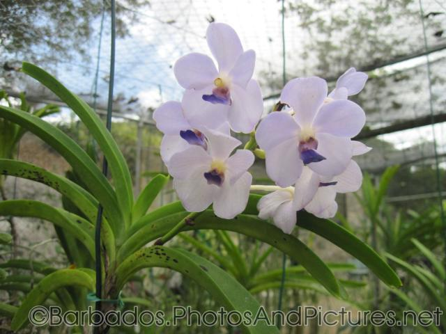 White orchid with purple in the middle at Orchid World Barbados.jpg