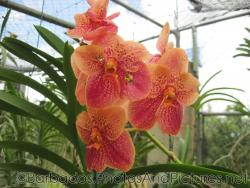5 petal orange orchid with red accent at Orchid World Barbados.jpg