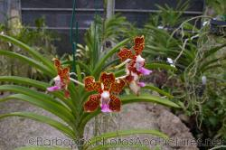 Yellow orchid with red spots at Orchid World Barbados.jpg