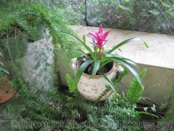 Plant with blade leaves and pink flower in container at Orchid World Barbados.jpg