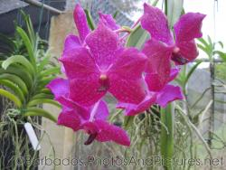 Close up of hot pink orchid with white spots at Orchid World Barbados.jpg