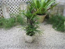Plant in stone container in a pebble garden at Orchid World in Barbados.jpg
