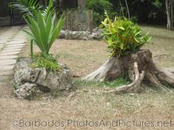 Plant growing on rock and tree stump at Orchid World in Barbados.jpg