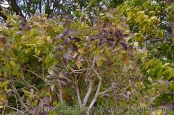 Purple Allamanda plant at Gun Hill Signal Station in Barbados.jpg