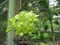 Light green flowers that look like leaves at Orchid World in Barbados.jpg