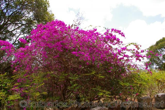 Large plant with pink flowers at Gun Hill Signal Station in Barbados.jpg