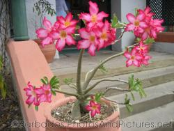 5 petal pink flower plant in a pot at Tyrol Cot in Barbados.jpg