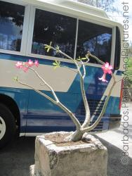 Small tree with few leaves and pink flowers at Tyrol Cot in Barbados.jpg